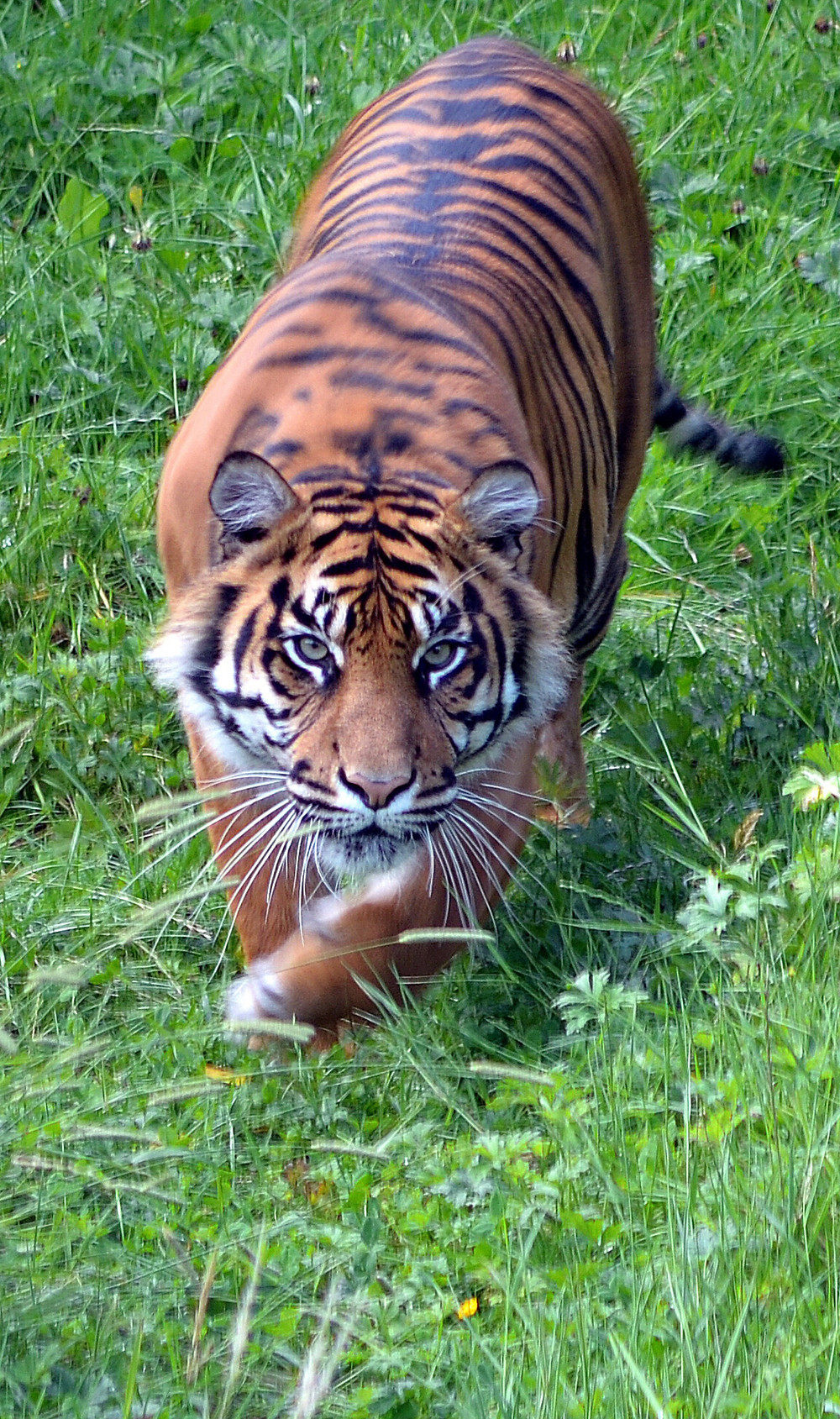 With glycogen, our bodies remain always ready to sprint away from a tiger or fight off an attacker in a true emergency.