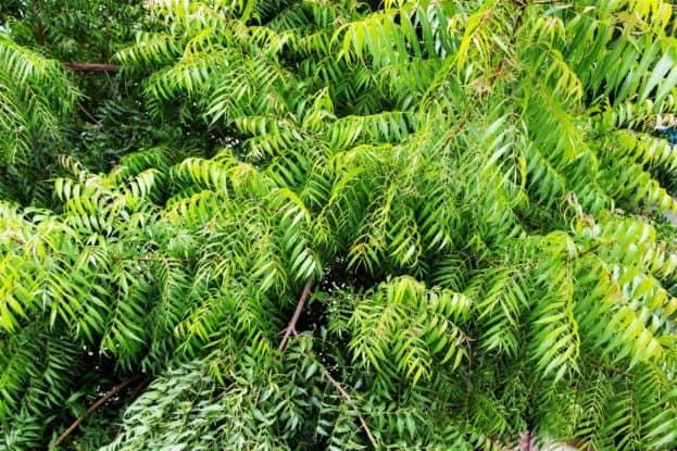 neem-tree-1500-x-1000-623x415