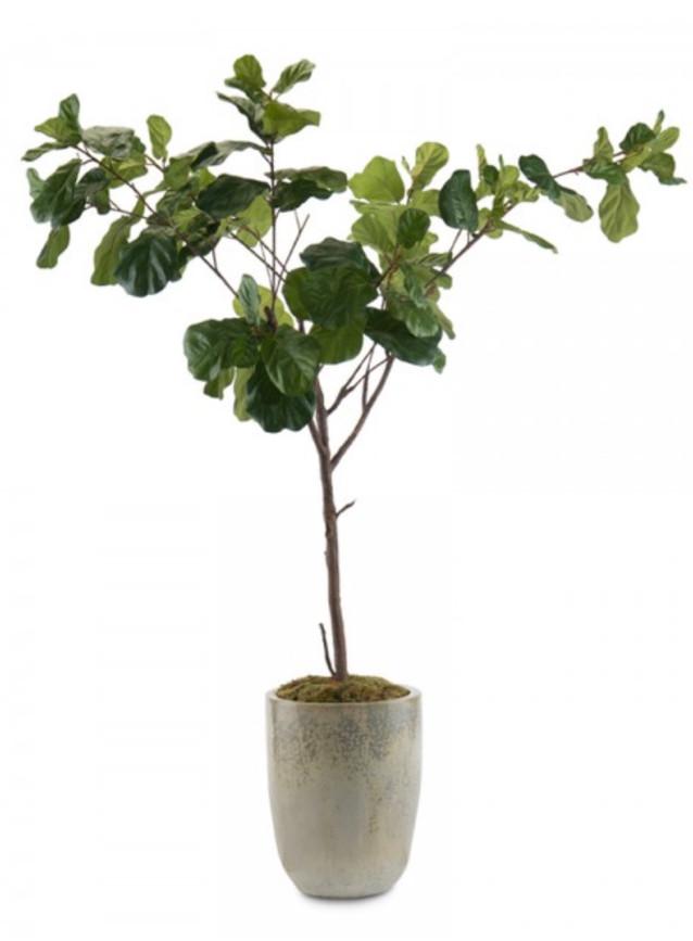 Fiddle Leaf Fig jr.JPG