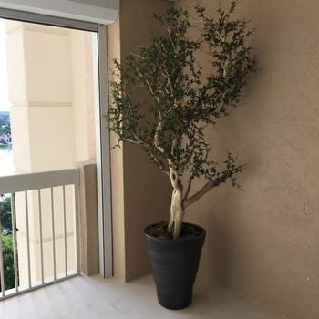 Silk Trees 0562.JPG