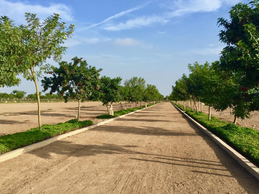 Nuestra alameda tiene más de 200 árboles de molle y tecoma, y cubresuelos de wedelia.
