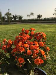Nuestras flores de Calanchoy, agradecidas por el clima y la tierra de Quilmaná.
