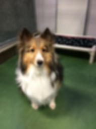Dog Boarding Edmonton St. Albert Barkers Pet Motel Sheltie