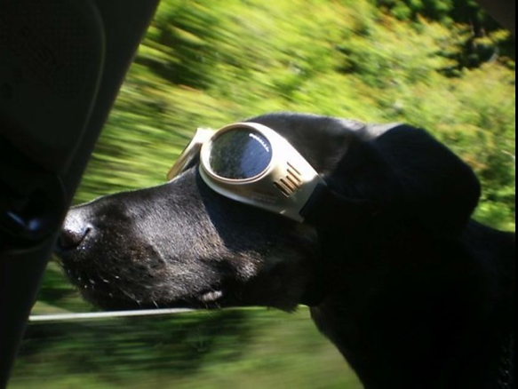 Dog in car wearing doggles on his way to Barkers Pet Motel in St. Albert