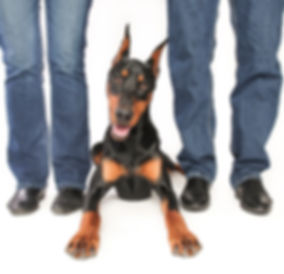 Doberman Pincher Dog at Barkers Pet Motel & Grooming St. Albert Edmonton