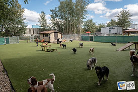 Doggy Daycare at Barkers Pet Motel & Grooming in St. Albert Edmonton K9Grass ForeverLawn