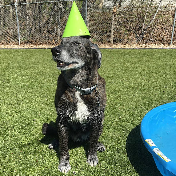 Large dog wearing birthday hat at Barkers Pet Motel & Grooming in St. Albert Edmonton dog boarding grooming daycare