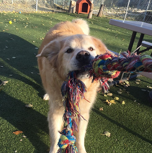 Barkers Pet Motel Best Dog Boarding Daycare St. Albert Edmonton Grooming playing with rope toy