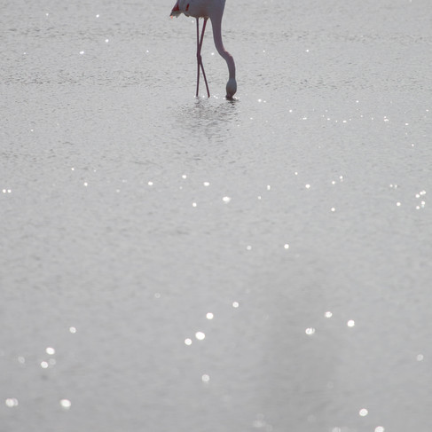 Lone Flamingo in The Camargue - France