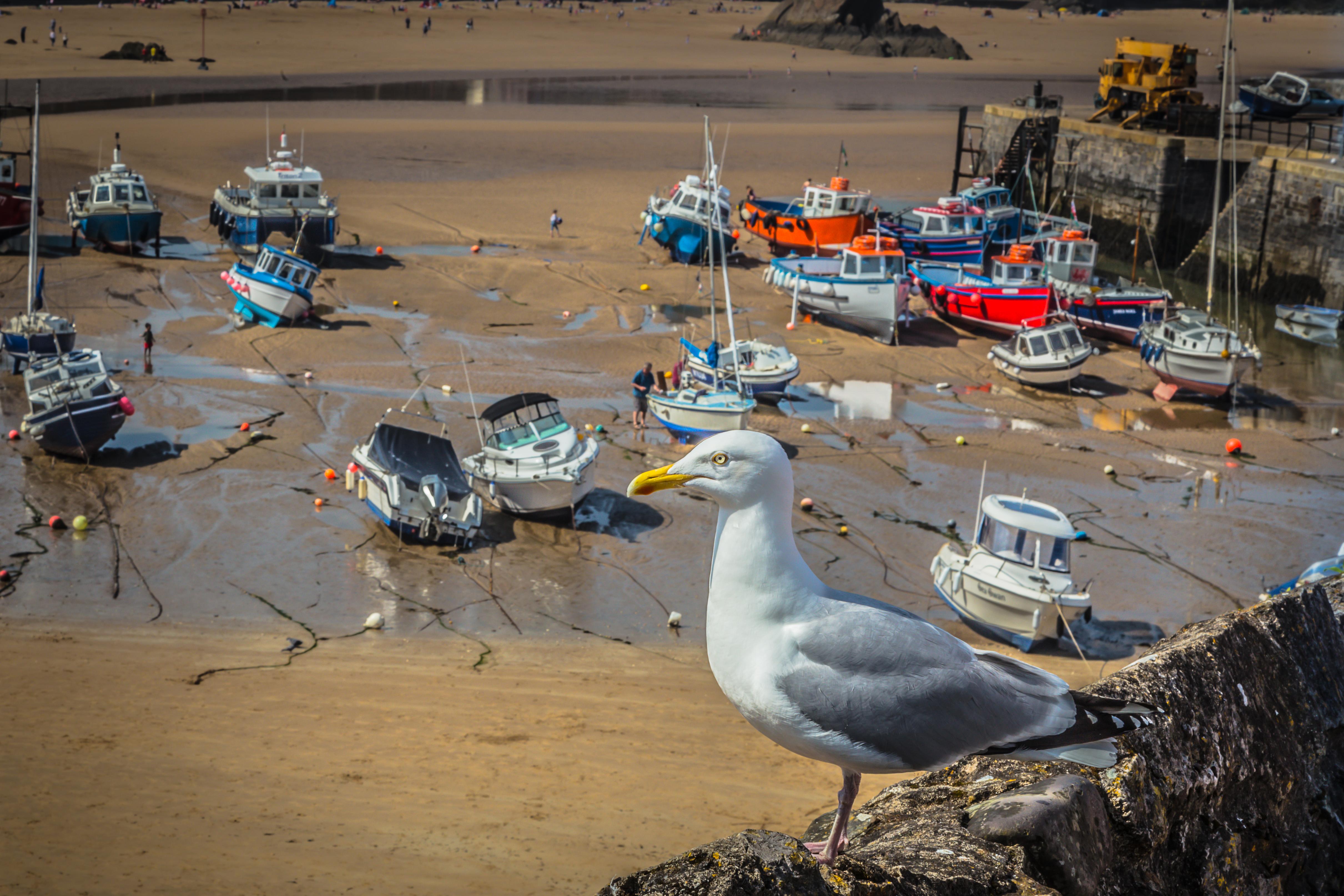Herring Gull in Tenby Harbour