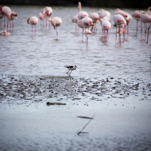 Flamingoes in The Camargue - France