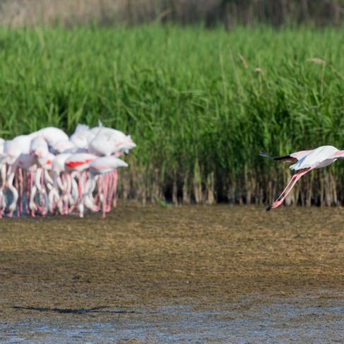 Feeding Flamingos, The Camargue - France