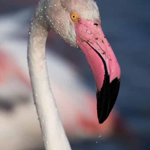 Flamingo, The Camargue - France