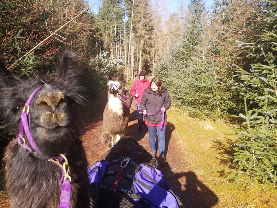 Llama Trek with Ecocamp, Glenshee