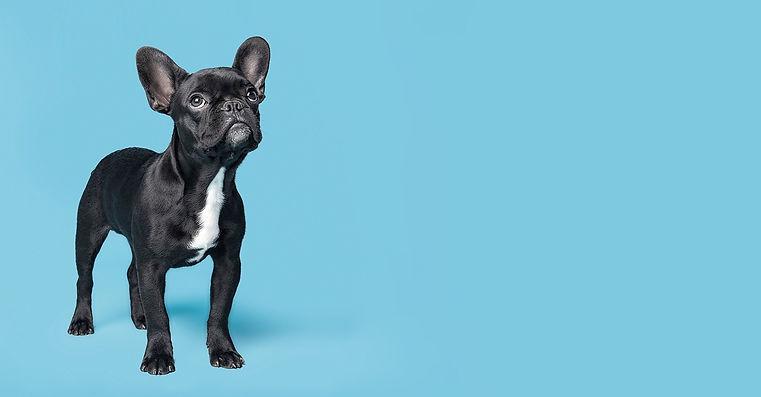 Kleiner Hund mit blauem Hintergrund
