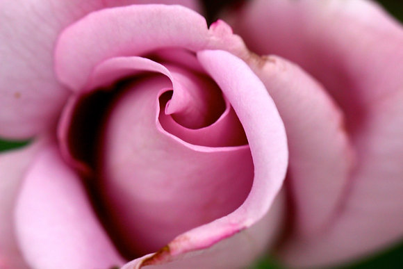 Curves of a Rose