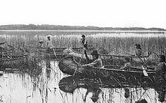 Manoomin Wild Rice_picking,_1905,_Minnes