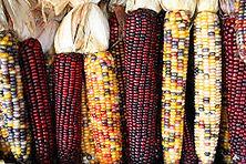 Corn Maize Varieties.jpg