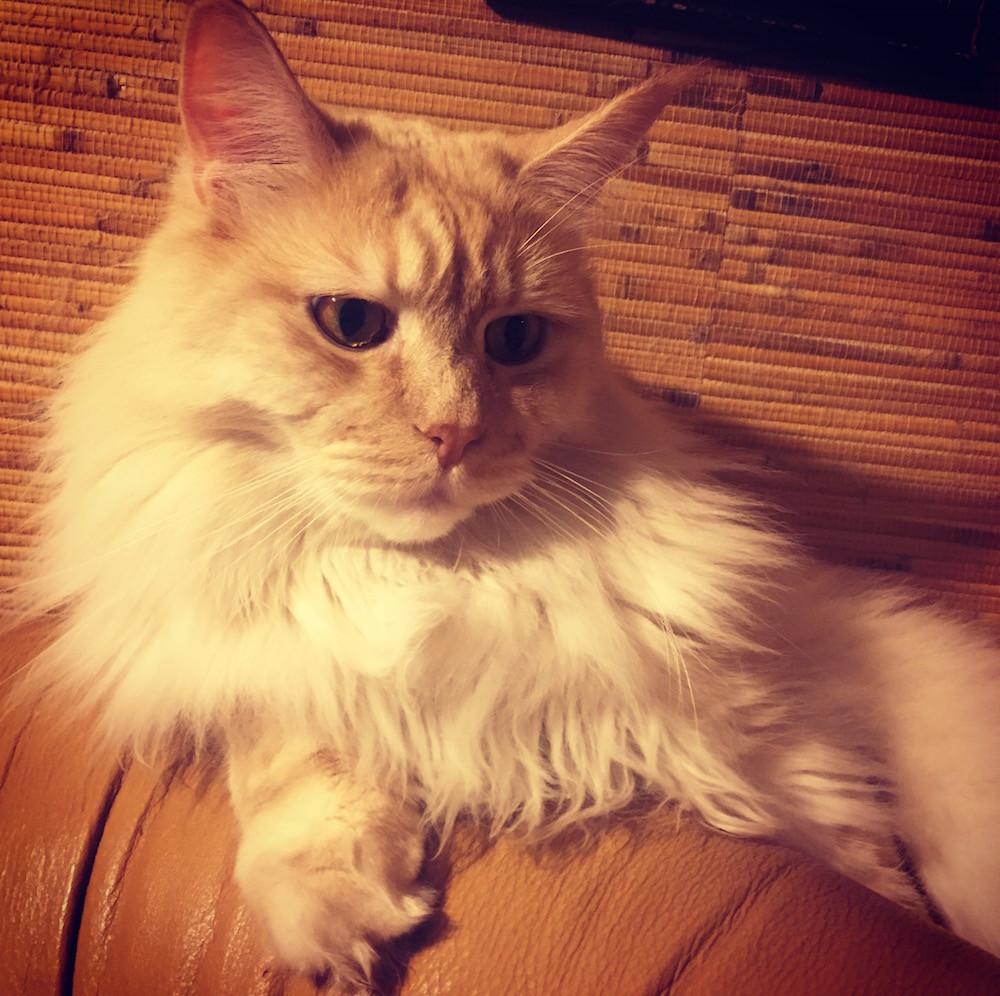 Кот мейн кун друг Сильвии Кавалера