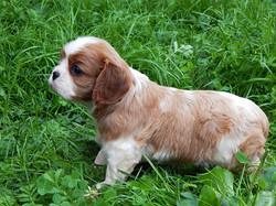 Как выбрать щенка Кавалера