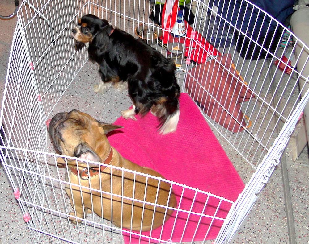 Кавалер Сильвия на выставке собак ждет