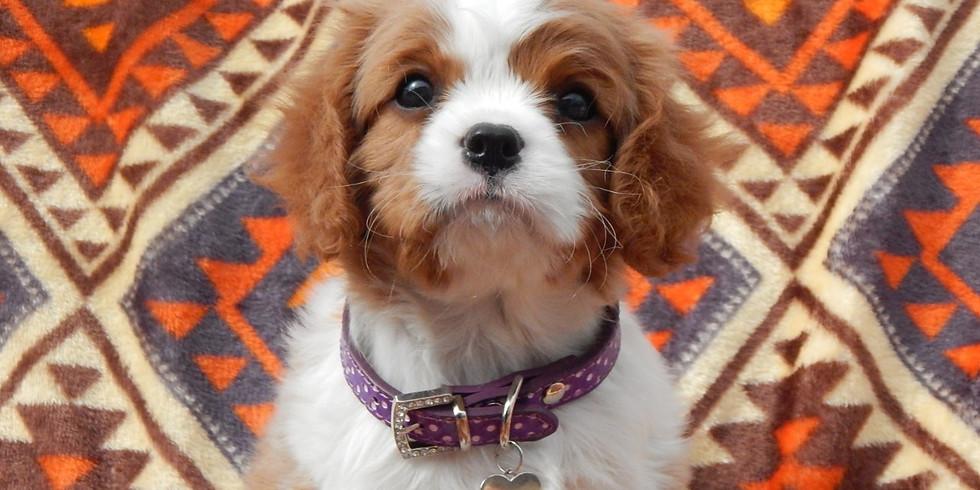 Хочу щенка Кавалера