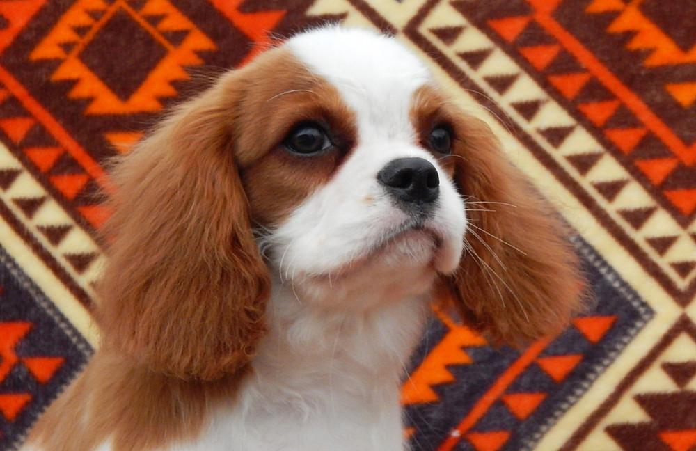Висячие уши у собак требуют внимания