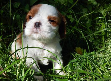 Рассказ говорящего щенка Чаки о жизни у Временной мамы