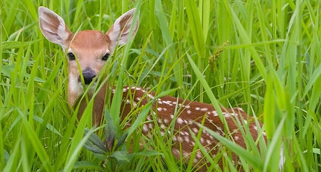 fawn-deer-283005_edited.jpg