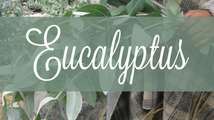 Common Scents: Eucalyptus