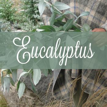 Common Scents: Eucalyptus