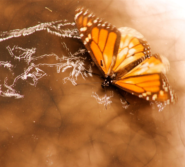 Monarch butterfly leaving traces on the soot surface, making an entomogram