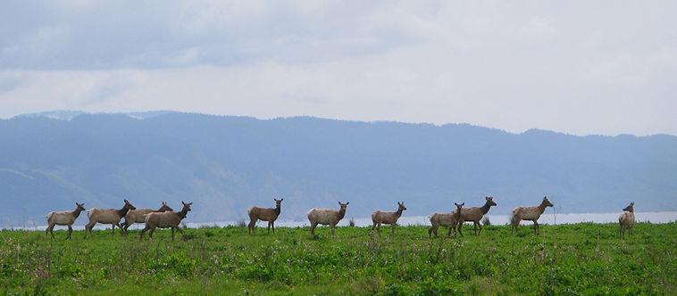 Pt-Reyes-tule-elk-herd-DRanch.jpg