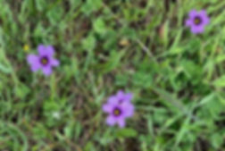 blue-eyed-grass.jpg