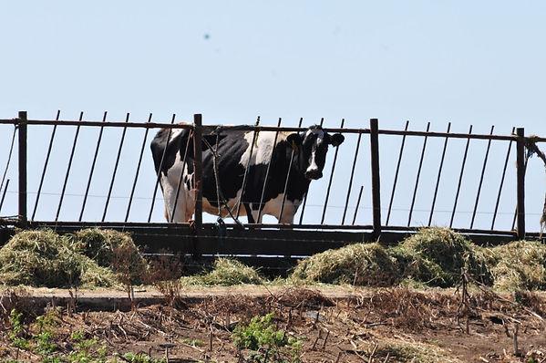 Dairy-cow-CAFO.jpg