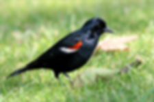 Blackbird_tricolored_male_summer_califor