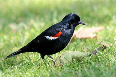 Blackbird_tricolored_male_summer_califor