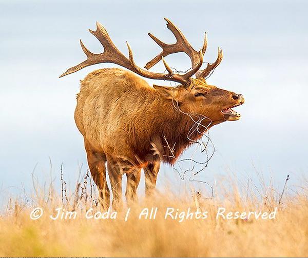 Coda-tule-elk-barbwire.png