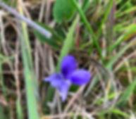 dog-violet.jpg