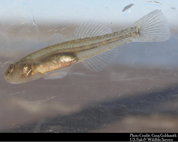 tidewater goby.png