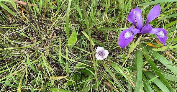 Danthonia-iris.jpg