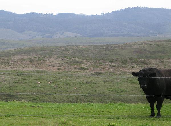 Pt-Reyes-elk-blackbull.jpg