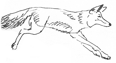 coyote-sketch-running.png