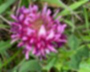 clover-fl.jpg