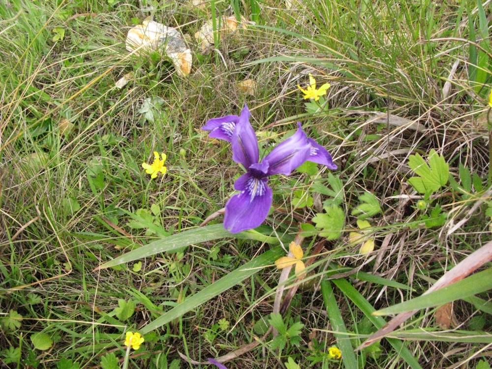 Douglas-iris,-buttercups