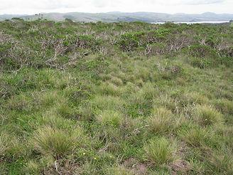 Festuca-idahoensis-prairie-relict.jpg