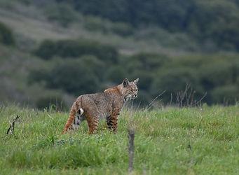 bobcat-WWP.jpg