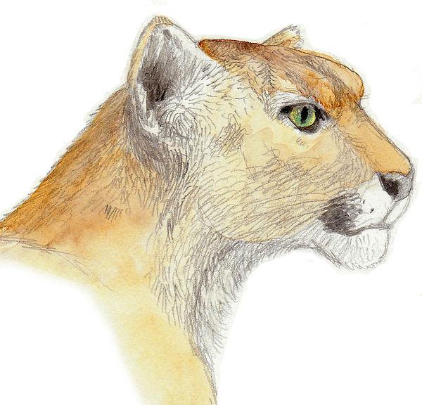 Cougar-face.jpg