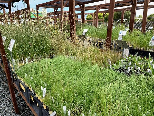 nursery-grasses3.jpg