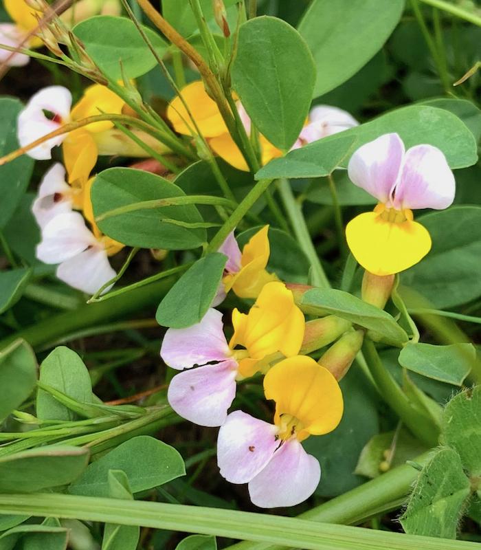 Lotus-crop